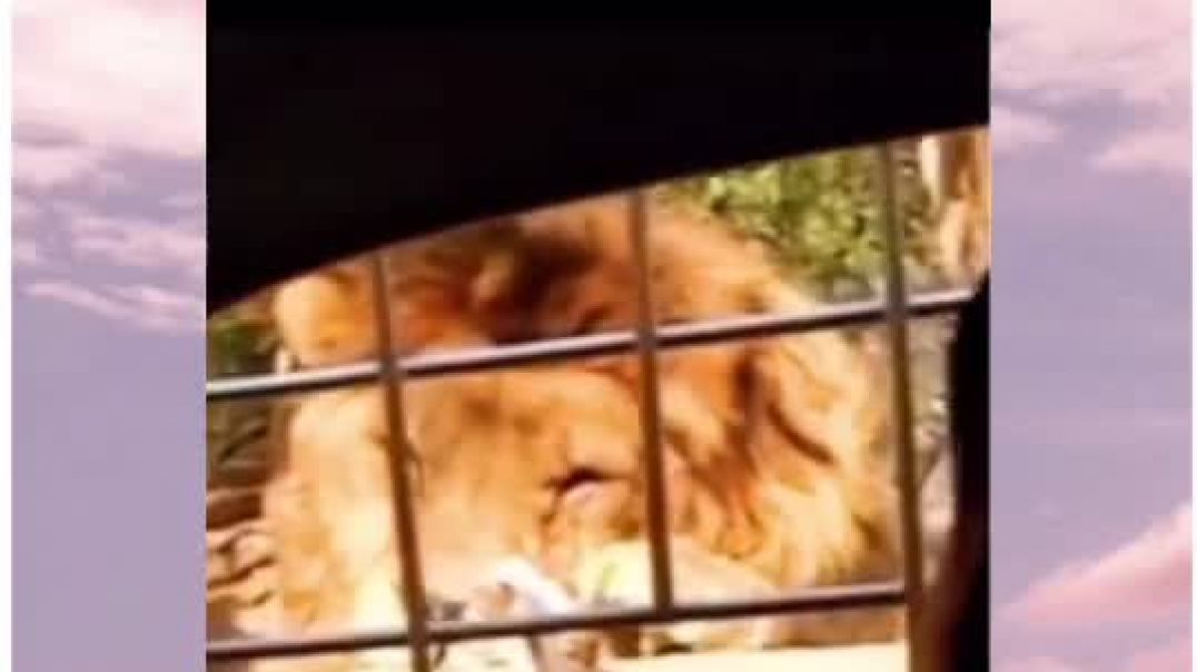 Lion Refuses To Eat His Meal