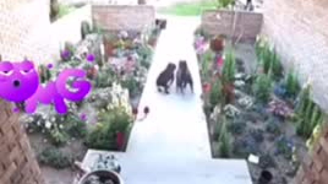 Mother Quick Act Save Girls From Pit Bull Dogs