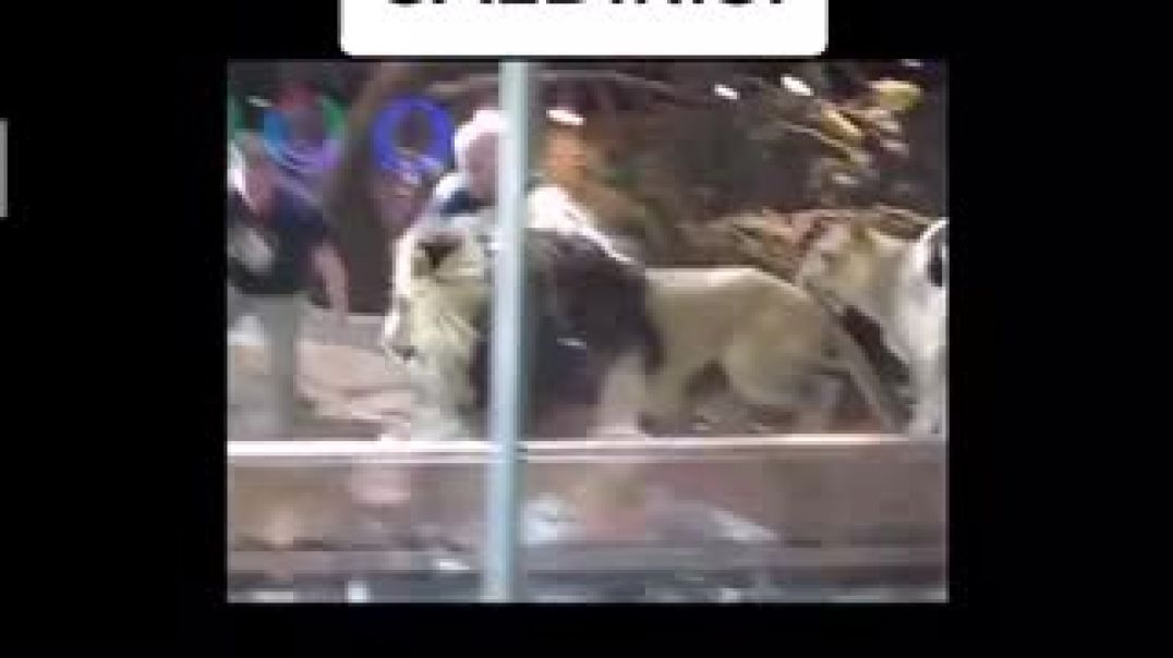 Lion Attacked Zookeeper