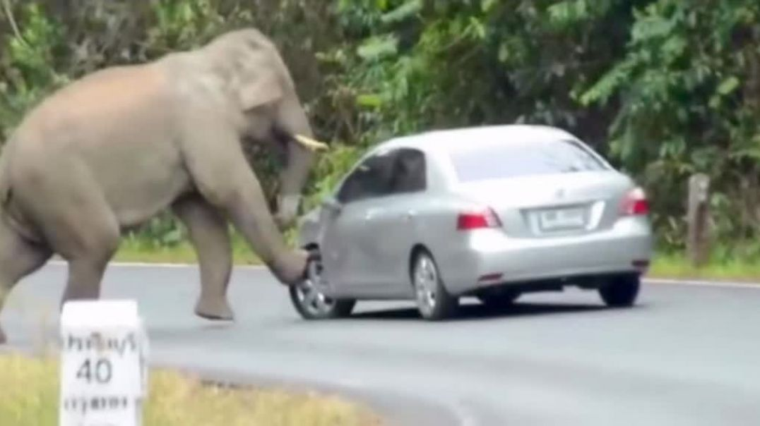 Elephant Stomping On A car