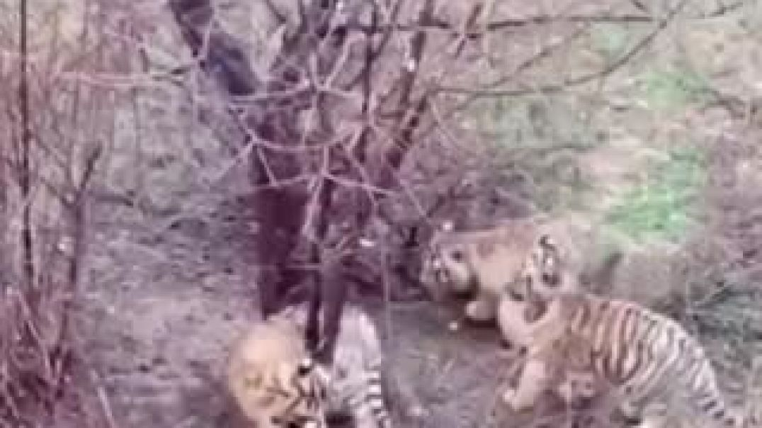 Baby Tiger Asking For Help From Zoo Keeper