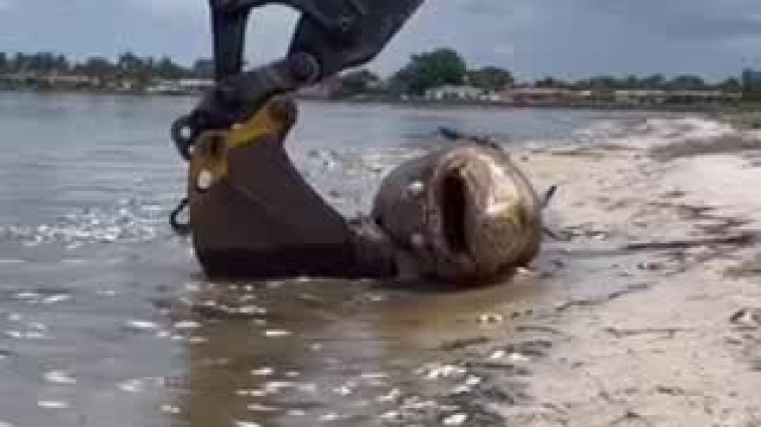 Enormous Fish Died On The Bay