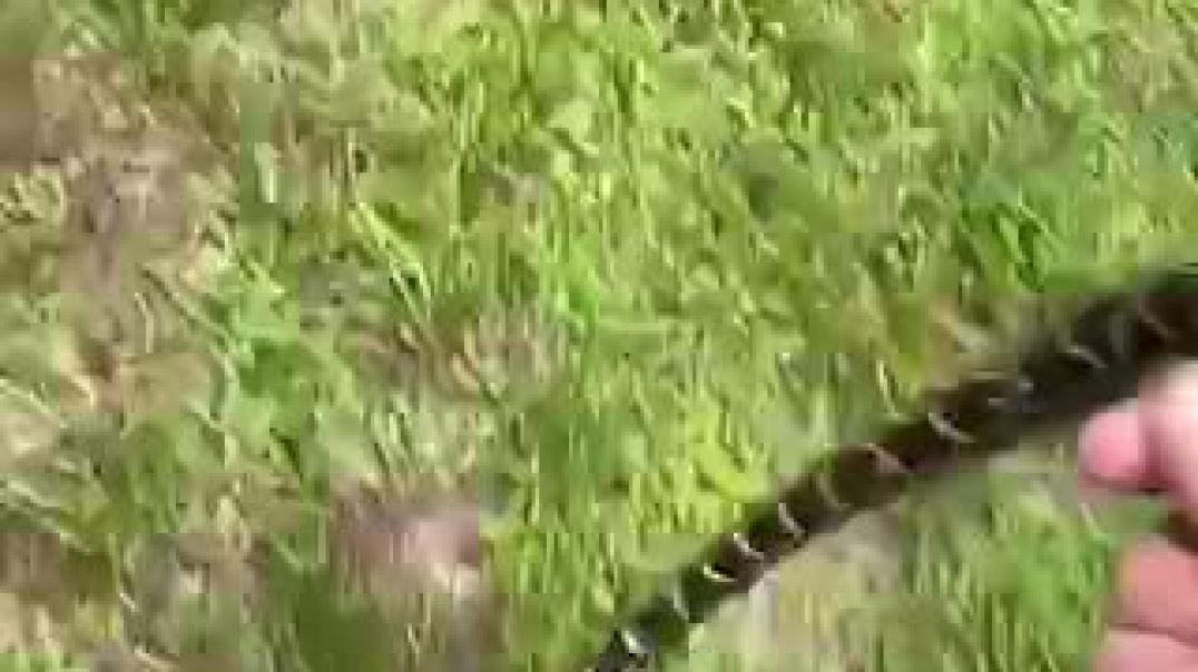 Man Picking Up Scattered Baby Snakes On The Ground